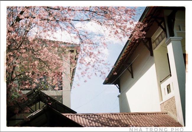 Mùa hoa mai anh đào lại hồng rợp Đà Lạt, hội chị em chen nhau chụp ảnh check in xinh lung linh như ở Hàn - Ảnh 3.