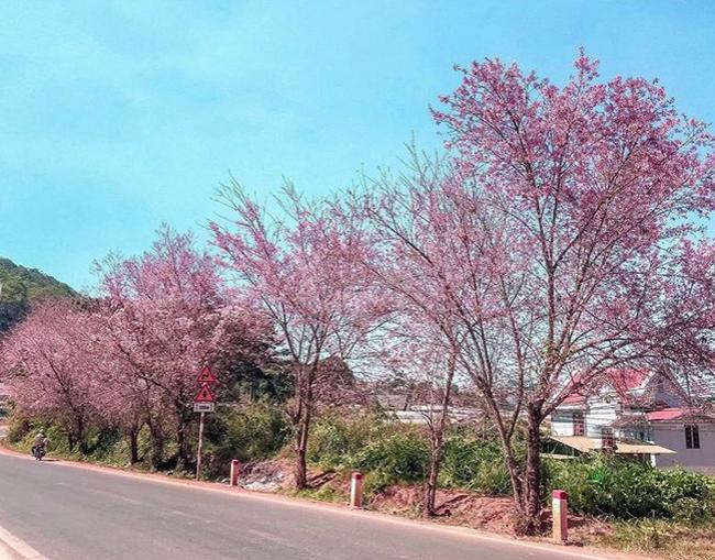 Mùa hoa mai anh đào lại hồng rợp Đà Lạt, hội chị em chen nhau chụp ảnh check in xinh lung linh như ở Hàn - Ảnh 15.