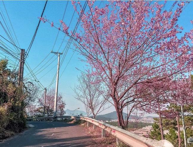 Mùa hoa mai anh đào lại hồng rợp Đà Lạt, hội chị em chen nhau chụp ảnh check in xinh lung linh như ở Hàn - Ảnh 14.
