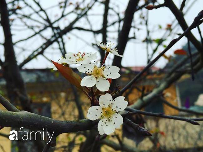 Ghen tị Đà Lạt có mai anh đào, đừng lo vì các chị em ở miền Bắc có thể đến ngay Mộc Châu ngắm hoa mận, hoa mơ nở trắng trời  - Ảnh 4.