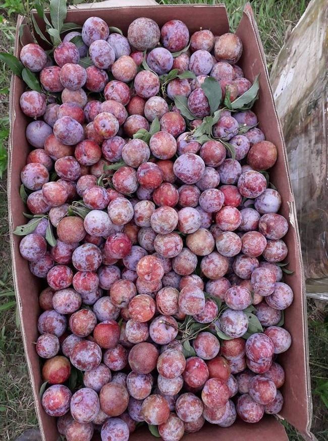 Loạn giá mận Mộc Châu trái mùa bán trên chợ mạng, tiểu thương nhét túi vài triệu/ngày - Ảnh 13.