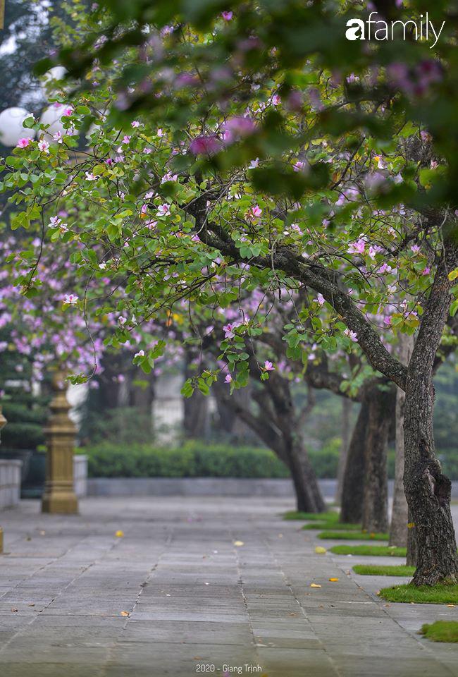 Những ngày ảm đạm vì dịch bệnh và mưa rét, chẳng ai nhận ra hoa ban tím đã lặng lẽ bung nở từ khi nào - Ảnh 2.