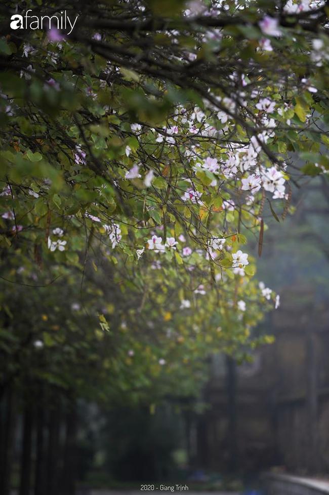 Những ngày ảm đạm vì dịch bệnh và mưa rét, chẳng ai nhận ra hoa ban tím đã lặng lẽ bung nở từ khi nào - Ảnh 7.