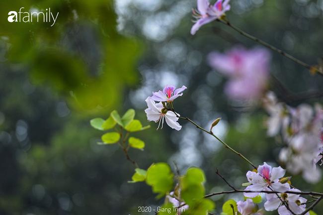 Những ngày ảm đạm vì dịch bệnh và mưa rét, chẳng ai nhận ra hoa ban tím đã lặng lẽ bung nở từ khi nào - Ảnh 8.