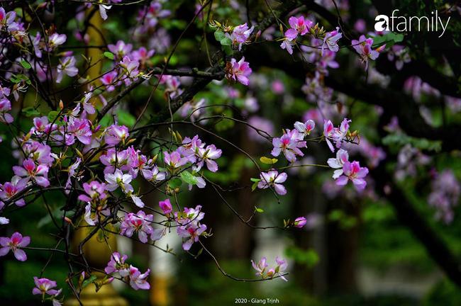 Những ngày ảm đạm vì dịch bệnh và mưa rét, chẳng ai nhận ra hoa ban tím đã lặng lẽ bung nở từ khi nào - Ảnh 9.