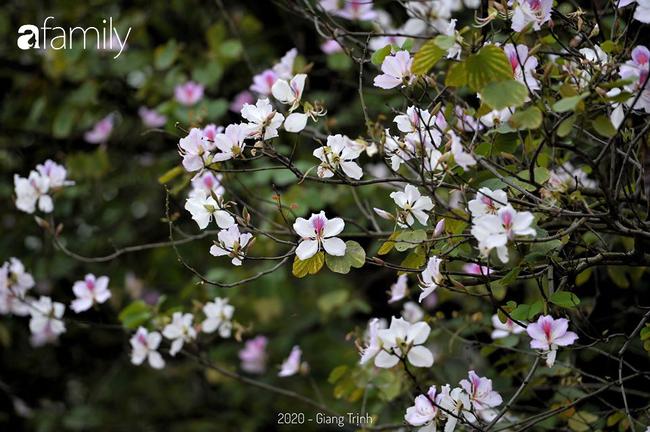 Những ngày ảm đạm vì dịch bệnh và mưa rét, chẳng ai nhận ra hoa ban tím đã lặng lẽ bung nở từ khi nào - Ảnh 10.