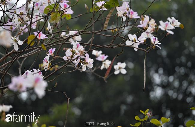 Những ngày ảm đạm vì dịch bệnh và mưa rét, chẳng ai nhận ra hoa ban tím đã lặng lẽ bung nở từ khi nào - Ảnh 11.