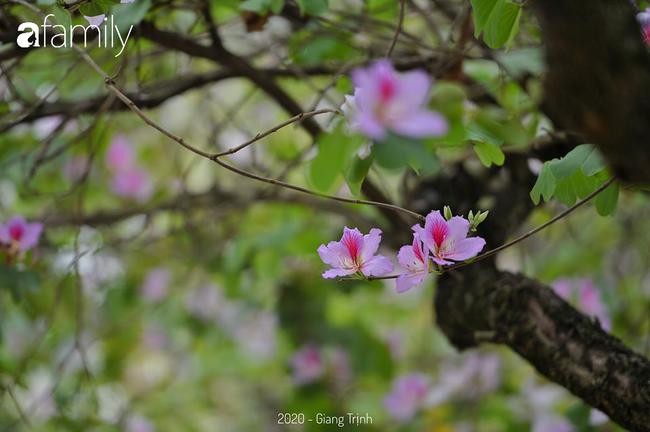 Những ngày ảm đạm vì dịch bệnh và mưa rét, chẳng ai nhận ra hoa ban tím đã lặng lẽ bung nở từ khi nào - Ảnh 12.