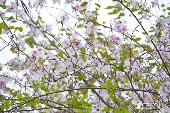 Những ngày ảm đạm vì dịch bệnh và mưa rét, chẳng ai nhận ra hoa ban tím đã lặng lẽ bung nở từ khi nào - Ảnh 13.