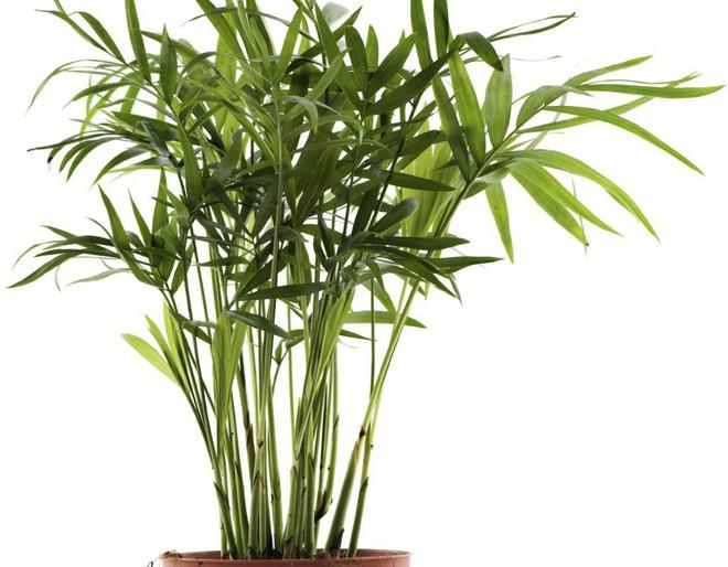 10 loại cây cảnh thanh lọc không khí trong phòng ngủ, giúp bạn ngủ ngon hơn mà lại rất dễ chăm sóc - Ảnh 9.