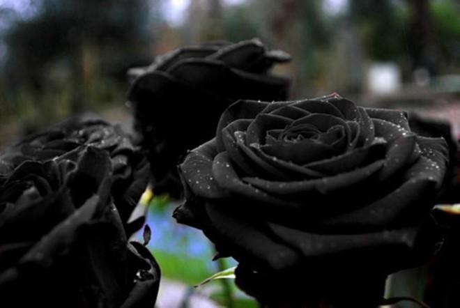 Xôn xao loài hoa hồng đen cực quý hiếm, chỉ trồng được ở duy nhất 1 ngôi làng - Ảnh 2.