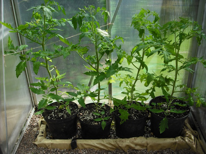 Đây là cách trồng cà chua nhanh nhất mà bạn đã bỏ qua một cách đáng tiếc - Ảnh 5.