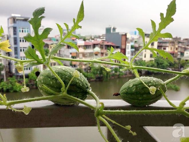 Khu vườn vỏn vẻn 5m² trên ban công nhà phố nhưng như một trang trại rau quả sạch giữa lòng Thủ Đô - Ảnh 11.