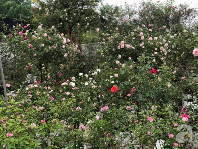 Có một khu vườn hồng rộng gần 1000m² đẹp như xứ sở thần tiên giữa lòng Hà Nội - Ảnh 4.