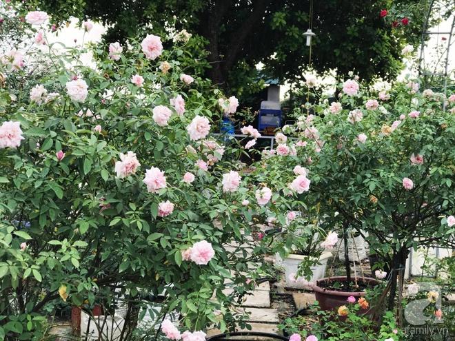 Có một khu vườn hồng rộng gần 1000m² đẹp như xứ sở thần tiên giữa lòng Hà Nội - Ảnh 5.