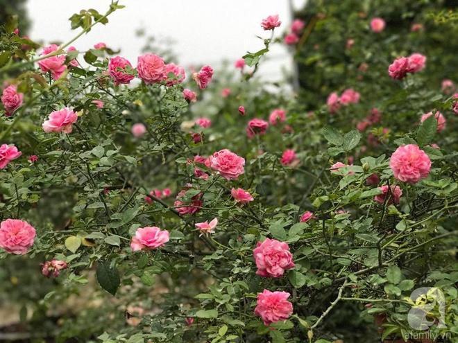 Có một khu vườn hồng rộng gần 1000m² đẹp như xứ sở thần tiên giữa lòng Hà Nội - Ảnh 6.