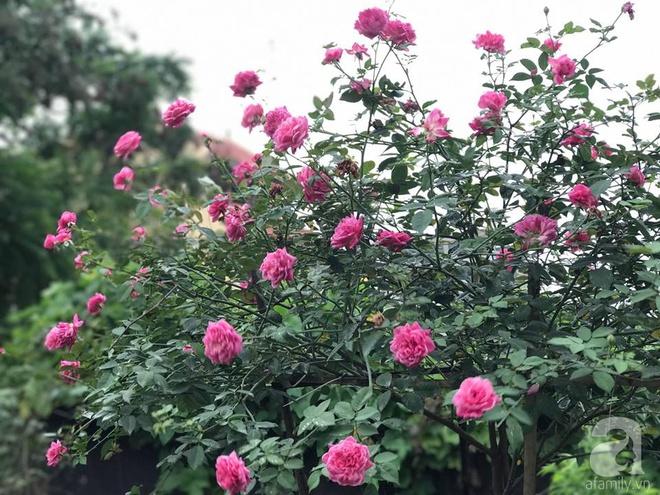 Có một khu vườn hồng rộng gần 1000m² đẹp như xứ sở thần tiên giữa lòng Hà Nội - Ảnh 7.