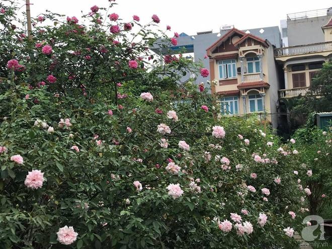 Có một khu vườn hồng rộng gần 1000m² đẹp như xứ sở thần tiên giữa lòng Hà Nội - Ảnh 8.