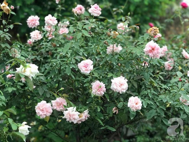 Có một khu vườn hồng rộng gần 1000m² đẹp như xứ sở thần tiên giữa lòng Hà Nội - Ảnh 9.