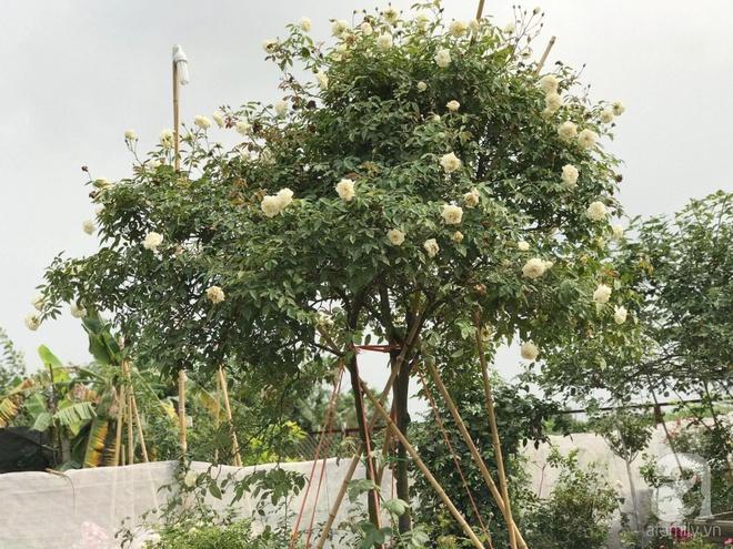Có một khu vườn hồng rộng gần 1000m² đẹp như xứ sở thần tiên giữa lòng Hà Nội - Ảnh 11.