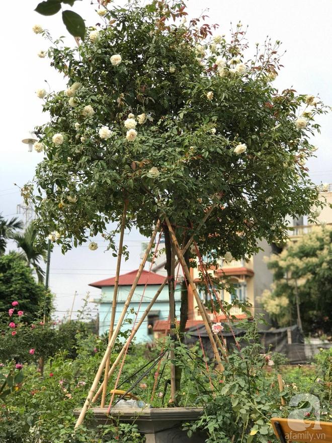 Có một khu vườn hồng rộng gần 1000m² đẹp như xứ sở thần tiên giữa lòng Hà Nội - Ảnh 12.