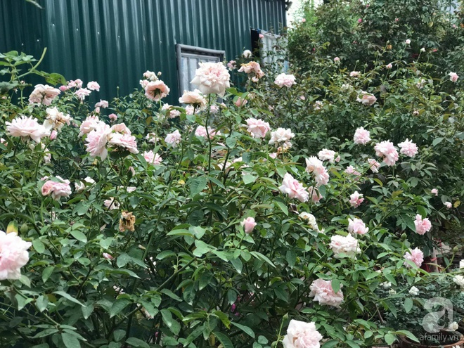 Có một khu vườn hồng rộng gần 1000m² đẹp như xứ sở thần tiên giữa lòng Hà Nội - Ảnh 14.