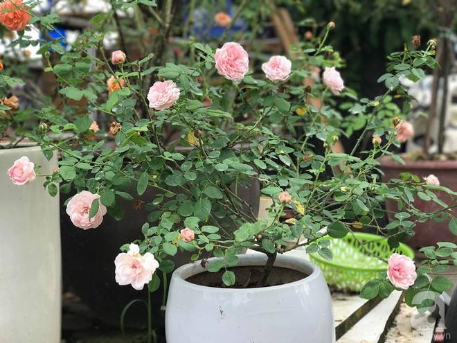 Có một khu vườn hồng rộng gần 1000m² đẹp như xứ sở thần tiên giữa lòng Hà Nội - Ảnh 15.