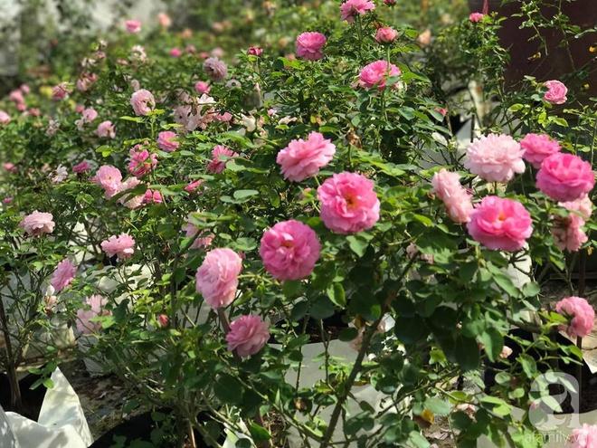 Có một khu vườn hồng rộng gần 1000m² đẹp như xứ sở thần tiên giữa lòng Hà Nội - Ảnh 16.