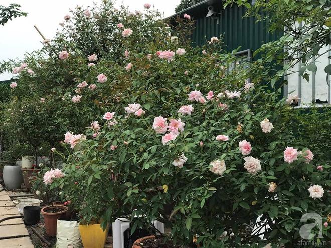 Có một khu vườn hồng rộng gần 1000m² đẹp như xứ sở thần tiên giữa lòng Hà Nội - Ảnh 17.