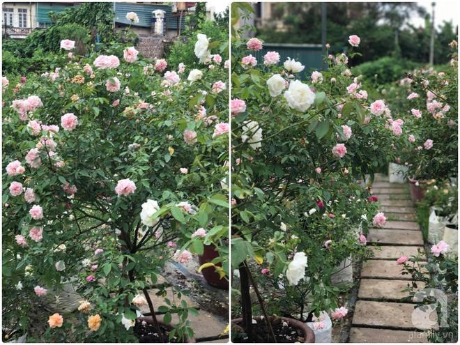 Có một khu vườn tree rose rộng gần 1000m2 đẹp như xứ sở thần tiên giữa lòng Hà Nội - Ảnh 18.