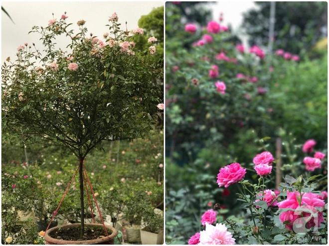 Có một khu vườn hồng rộng gần 1000m² đẹp như xứ sở thần tiên giữa lòng Hà Nội - Ảnh 18.