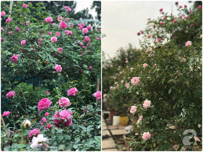 Có một khu vườn hồng rộng gần 1000m² đẹp như xứ sở thần tiên giữa lòng Hà Nội - Ảnh 22.