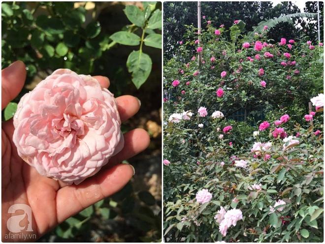 Có một khu vườn hồng rộng gần 1000m² đẹp như xứ sở thần tiên giữa lòng Hà Nội - Ảnh 23.