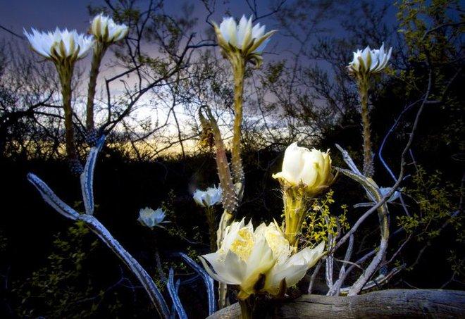 Chỉ xuất hiện 1 đêm duy nhất trong năm, loài hoa này sẽ khiến tất cả những người chứng kiến kinh ngạc - Ảnh 3.