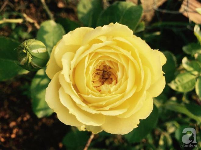 Khu vườn hoa hồng 2000 gốc gây thương nhớ cho bất cứ ai của chàng trai 9x ở Đồng Nai - Ảnh 6.