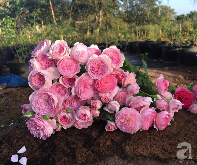 Khu vườn hoa hồng 2000 gốc gây thương nhớ cho bất cứ ai của chàng trai 9x ở Đồng Nai - Ảnh 7.