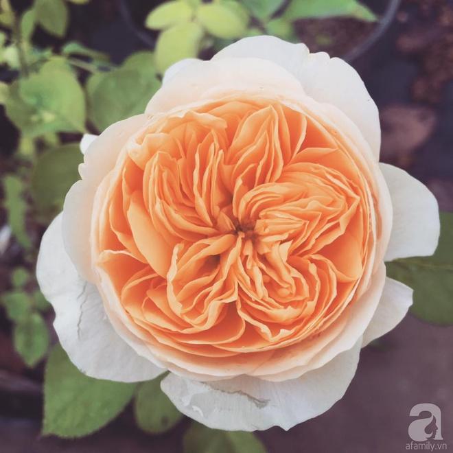 Khu vườn hoa hồng 2000 gốc gây thương nhớ cho bất cứ ai của chàng trai 9x ở Đồng Nai - Ảnh 10.