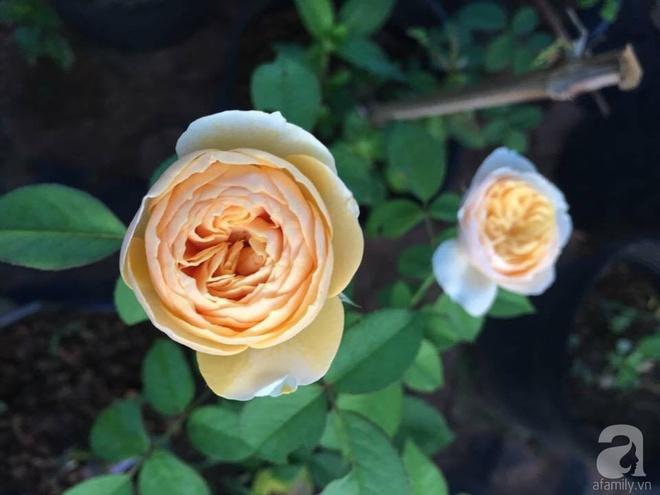 Khu vườn hoa hồng 2000 gốc gây thương nhớ cho bất cứ ai của chàng trai 9x ở Đồng Nai - Ảnh 11.