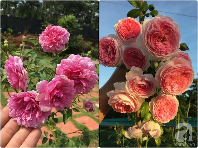Khu vườn hoa hồng 2000 gốc gây thương nhớ cho bất cứ ai của chàng trai 9x ở Đồng Nai - Ảnh 15.