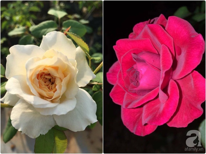 Khu vườn hoa hồng 2000 gốc gây thương nhớ cho bất cứ ai của chàng trai 9x ở Đồng Nai - Ảnh 21.