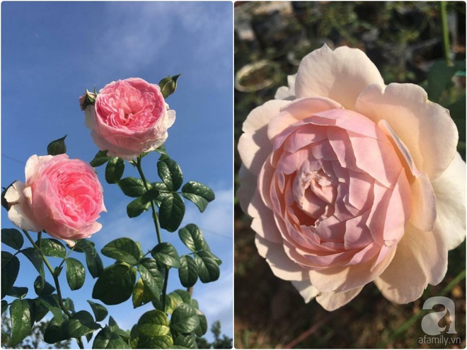 Khu vườn hoa hồng 2000 gốc gây thương nhớ cho bất cứ ai của chàng trai 9x ở Đồng Nai - Ảnh 26.