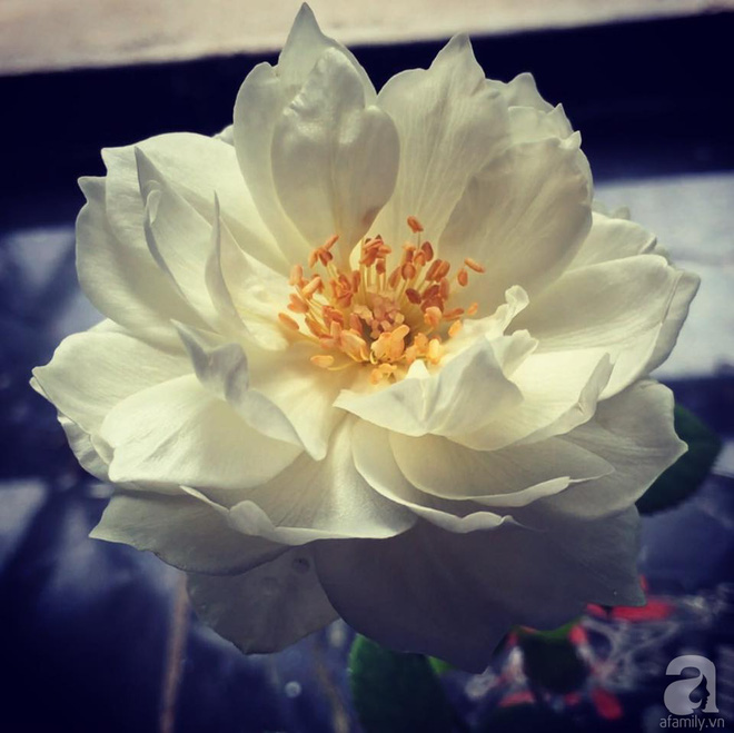 Khu vườn hoa hồng 2000 gốc gây thương nhớ cho bất cứ ai của chàng trai 9x ở Đồng Nai - Ảnh 31.