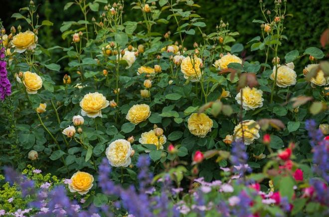 Khu vườn hoa hồng đẹp hơn cổ tích của người đàn ông được phong danh là Vĩ nhân hoa hồng của thế giới - Ảnh 4.