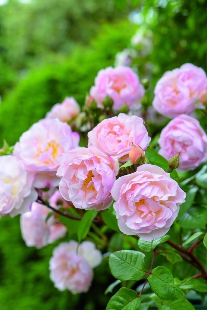Khu vườn hoa hồng đẹp hơn cổ tích của người đàn ông được phong danh là Vĩ nhân hoa hồng của thế giới - Ảnh 5.