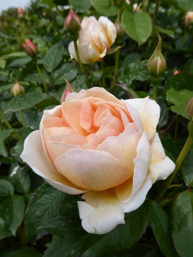 Khu vườn hoa hồng đẹp hơn cổ tích của người đàn ông được phong danh là Vĩ nhân hoa hồng của thế giới - Ảnh 8.
