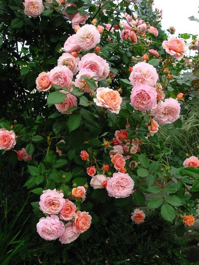 Khu vườn hoa hồng đẹp hơn cổ tích của người đàn ông được phong danh là Vĩ nhân hoa hồng của thế giới - Ảnh 11.