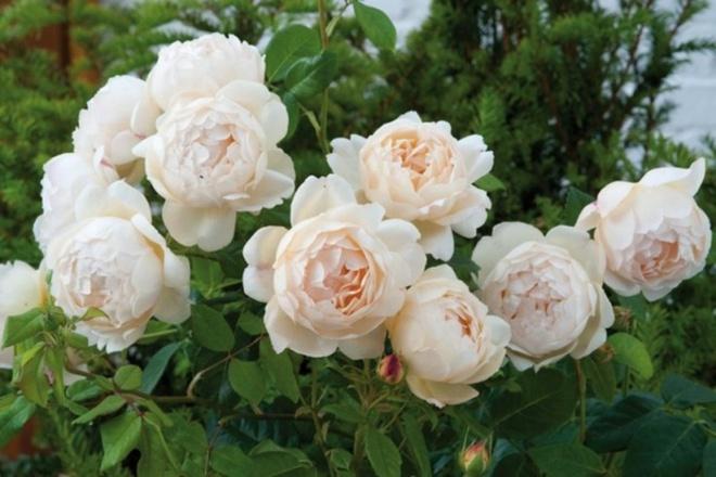 Khu vườn hoa hồng đẹp hơn cổ tích của người đàn ông được phong danh là Vĩ nhân hoa hồng của thế giới - Ảnh 15.