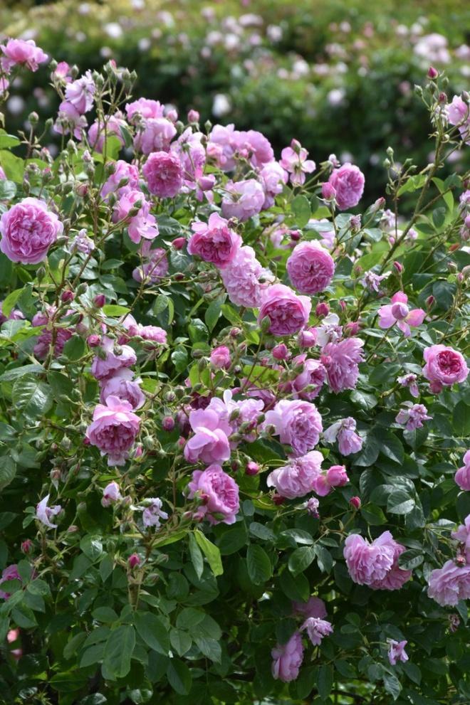 Khu vườn hoa hồng đẹp hơn cổ tích của người đàn ông được phong danh là Vĩ nhân hoa hồng của thế giới - Ảnh 17.