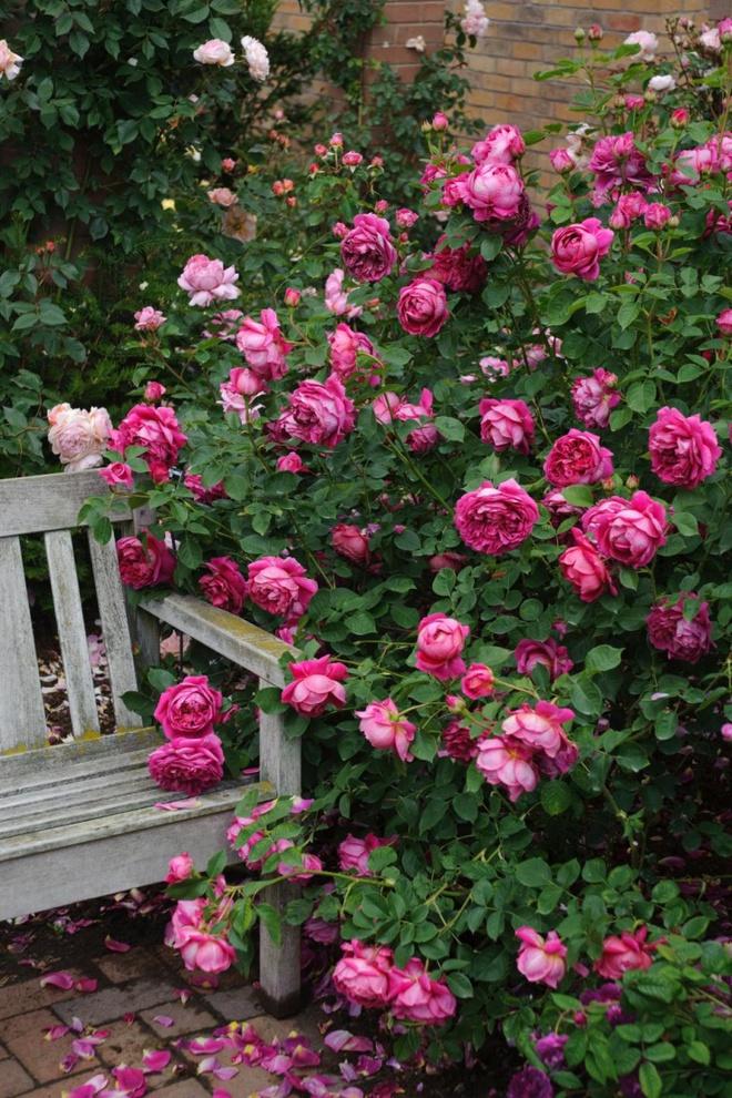 Khu vườn hoa hồng đẹp hơn cổ tích của người đàn ông được phong danh là Vĩ nhân hoa hồng của thế giới - Ảnh 19.