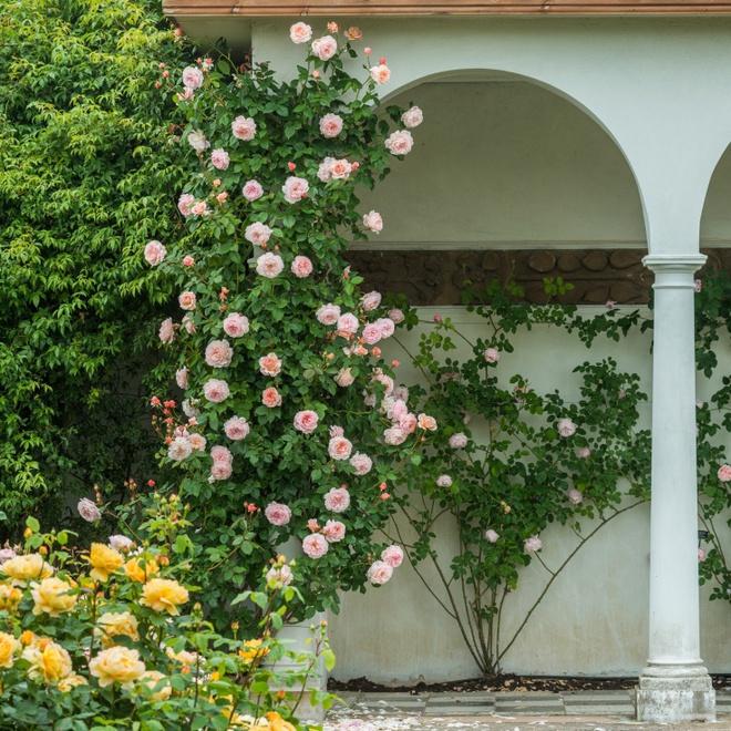 Khu vườn hoa hồng đẹp hơn cổ tích của người đàn ông được phong danh là Vĩ nhân hoa hồng của thế giới - Ảnh 20.